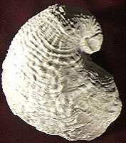 Pelecypod shell