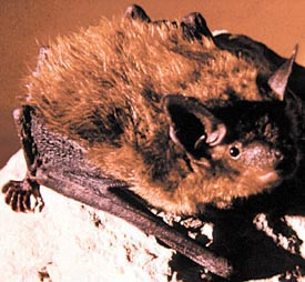 Image of cave bat.
